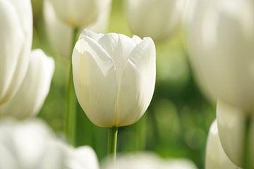 Witte tulp van Peet Romijn