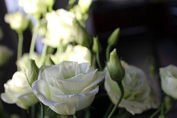 witte rozen von ping pong