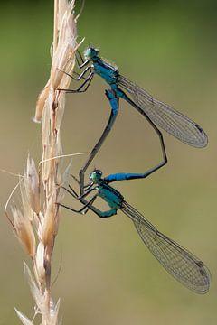 Twee Waterjuffers (Coenagrionidae) van Maurice de vries