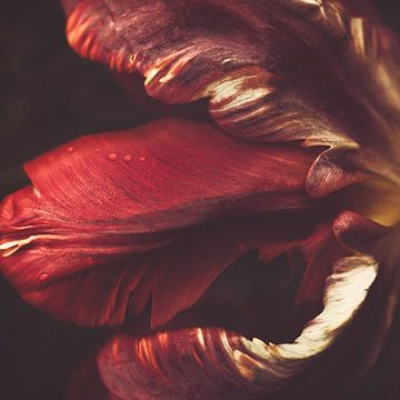 Rote Tulpe von Marina de Wit