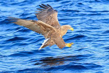 Aigle à queue blanche plonge dans l'eau sur Sjoerd van der Wal