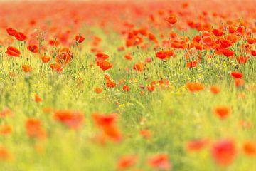 Mohnblumen rot von Andy Luberti