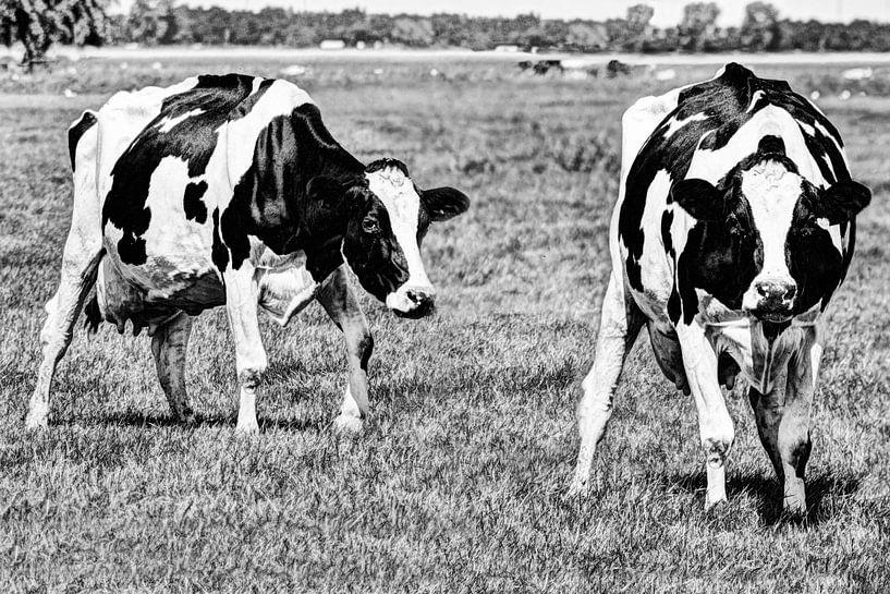 Zwartbont Koeien in de Weiland Zwart-Wit van Hendrik-Jan Kornelis