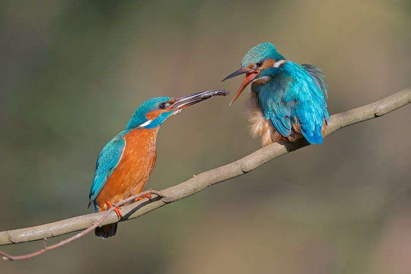 IJsvogel - Verleiding van IJsvogels.nl - Corné van Oosterhout