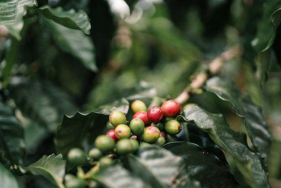 Koffiekersen Hawaï