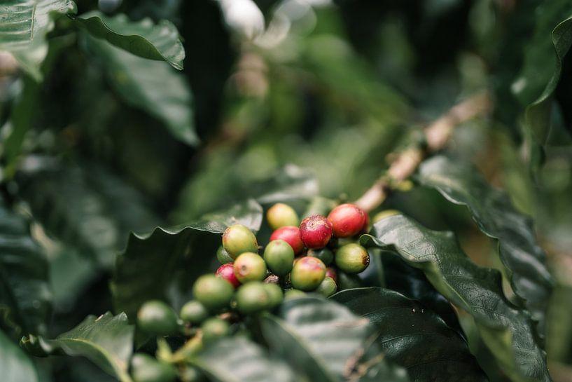 Koffiekersen Hawaï van road to aloha