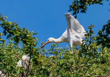 Junger Löffelreiher probiert Flügel aus von Merijn Loch