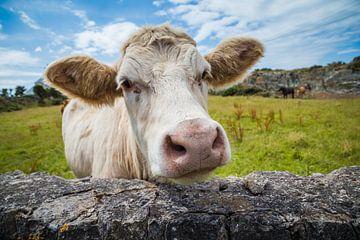 Eine weiße Kuh in Wales von Hilda Weges