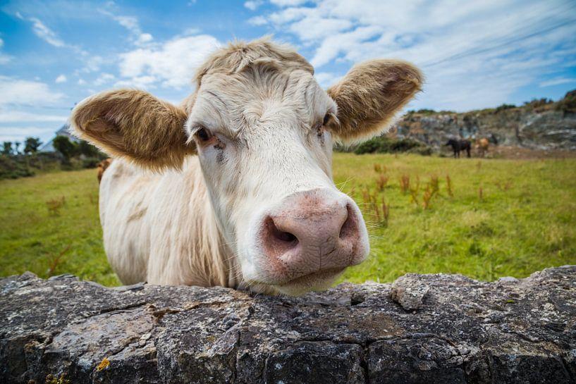 Een witte koe in Wales van Hilda Weges