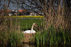 Moeder zwaan op 't nest van