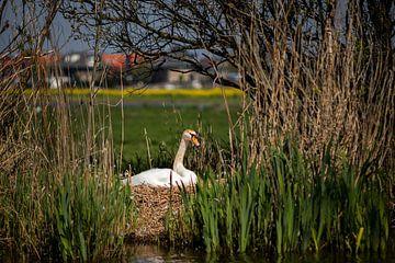 Moeder zwaan op 't nest van Fotostudio 075