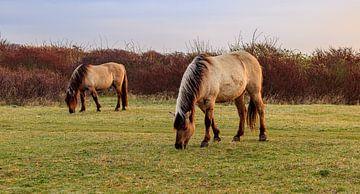 Essen von Konik-Pferden im 'Lentevreugd' von Diederik van Duijn
