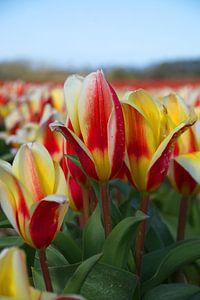 Tulpen in rood en geel in de bollenstreek