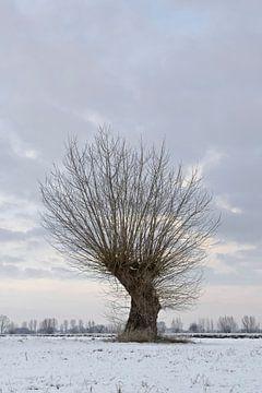 Alter knorriger Baum ( Kopfweide, Salix P. ) am Niederrhein, Bislicher Insel, Nordrhein-Wetsfalen, D von wunderbare Erde