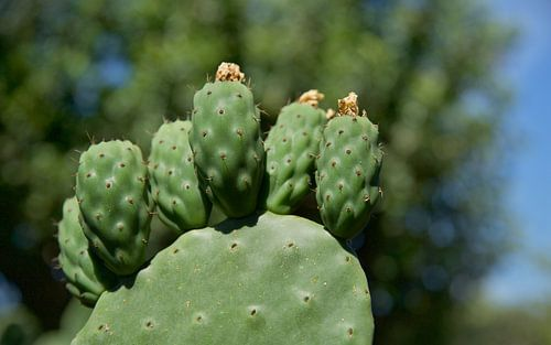 Chumbera Nopal Cactus Italie