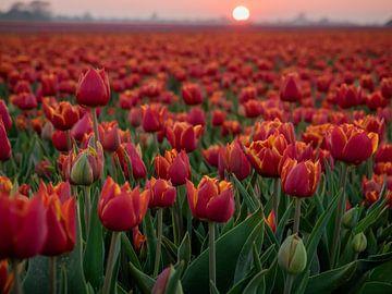 Tulipes rouges dans un champ sur