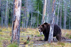 Bear van