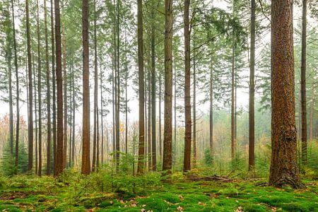 Kiefern in einem Wald während eines nebeligen Tages zu Beginn des Winters