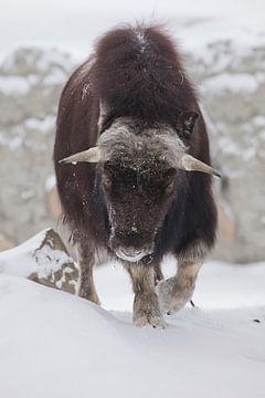 Gehoornde stier van dichtbij. Ijsgehoornde poolreliëf van de ijstijd harig muskusosdier op wintersne van Michael Semenov