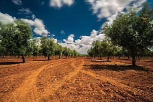 Olijfbomen op rode aarde