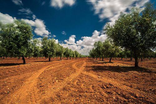 Olijfbomen op rode aarde von Martijn Smeets
