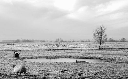 Schaap in het polderlandschap