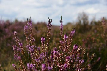 Heide bloemen van Niels Berendsen
