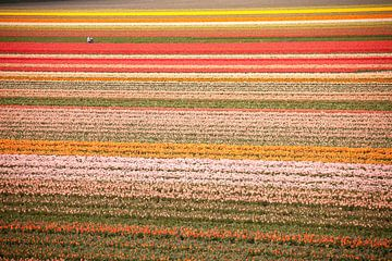 Tulpenfeld im Keukenhof, Niederlande von Peter Schickert