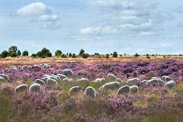 Schafherde auf blühendem Heidekraut von
