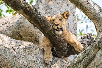 Rustgevende leeuwin / Afrikaans landschap / Natuurfotografie / Oeganda van Jikke Patist