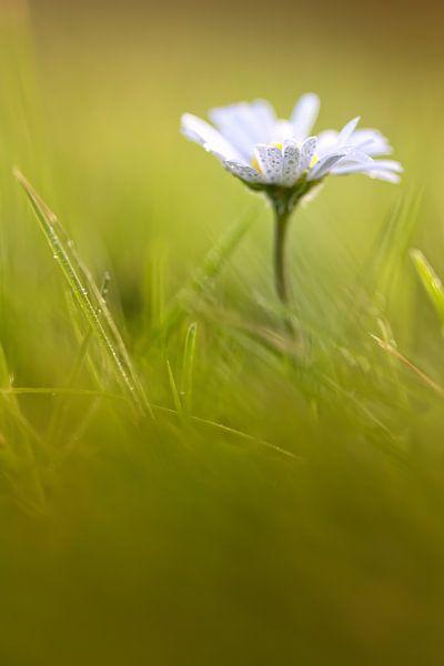 Sweet Daisy! (bloem, madeliefje) van Bob Daalder