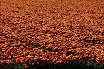 Tulpenveld van matthijs iseger