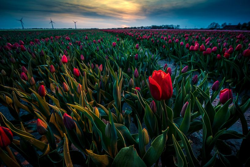 Avondrood in het Tulpen veld van Fotografiecor .nl