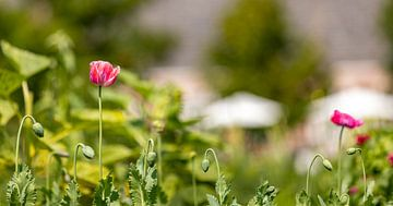 Rosa Mohnblumen im Blumenfeld 2 von Percy's fotografie