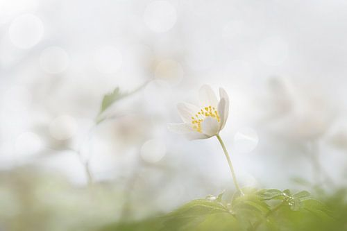 Bosanemonen in de lente
