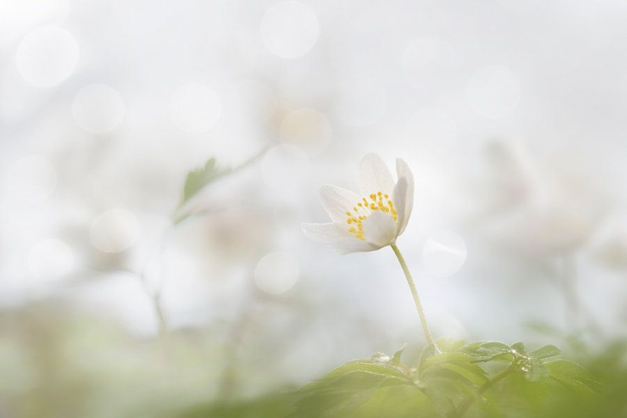 Bosanemonen in de lente  van Vandain Fotografie