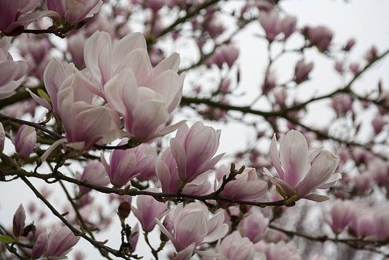 Bloeiende magnolia