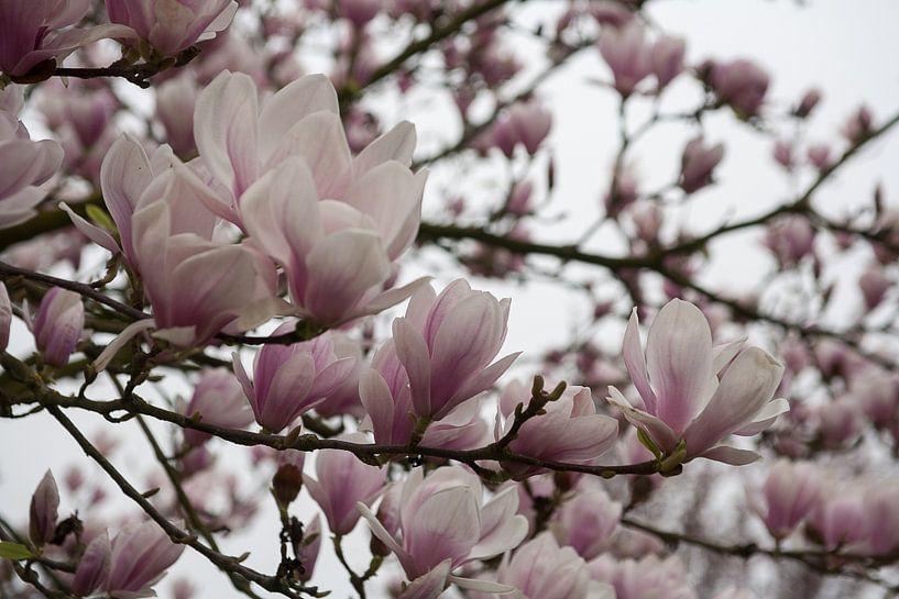 Bloeiende magnolia van Jim van Iterson