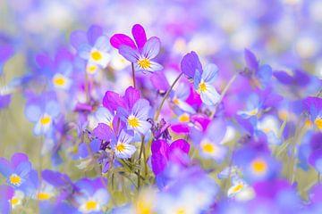 Driekleurig viooltje van Ron Poot