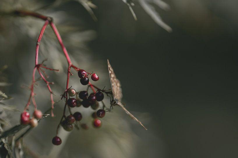 Vlinder zit op bessen van Steven Dijkshoorn