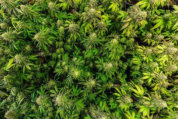 Cannabisplanten van bovenaf van Felix Brönnimann