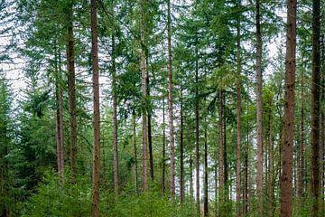 Uitzicht naar boven in een dennenbos van Sjoerd van der Wal