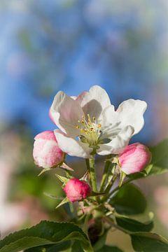 Apfelblüten Makro von Susanne Bauernfeind