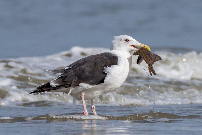 Visje eten door een Grote Mantelmeeuw van Marcel Pietersen
