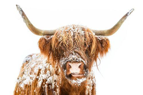 Portret van een Schotse hooglander koe in de sneeuw