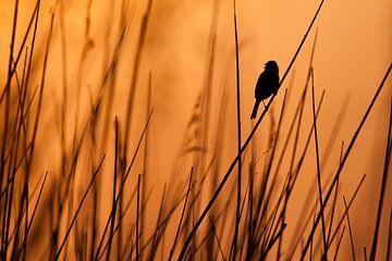 Zingende rietgors in het riet bij zonsondergang van Caroline Piek