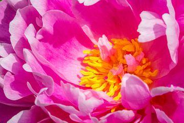 close-up van de gele meeldraden van een roze pioenroos van Marc Goldman