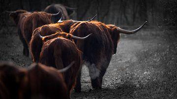 Schotse Hooglanders van Karel Ton
