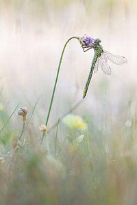 plasrombout rustend aan engels gras