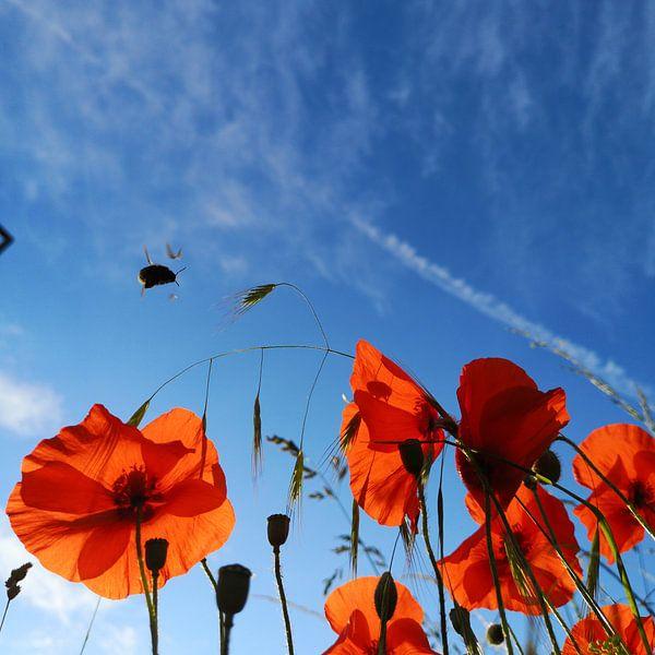 Bumblebee in a field of poppies van Graham De With
